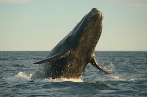 Southern right whale breaching in Argentina