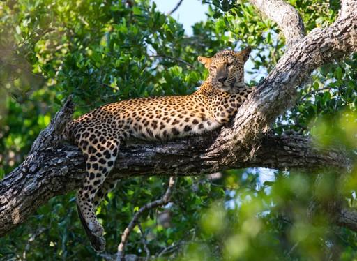 Leopard in tree in Sri Lanka