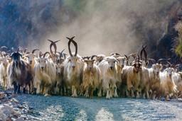 Goats in Georgia