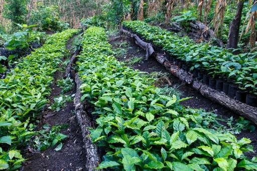 Growing coffee in Matagalpa, Nicaragua