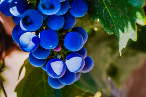 Grapes in the Maipo Valley, Chile