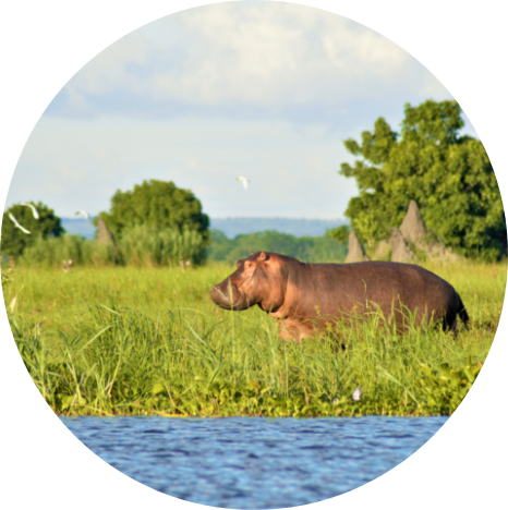 Hippo in Malawi wetlands