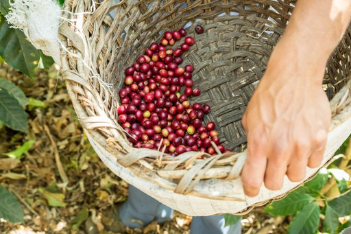 Coffee harvest Costa Rica