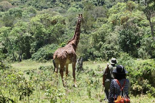 Giraffe on walking safari