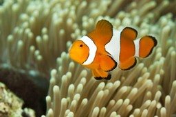 Clown fish on an Indonesian coral reef