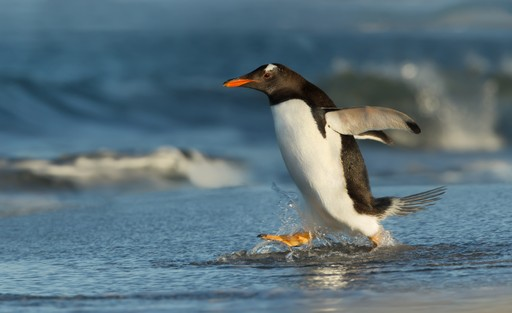 Gentoo penguin Falklands