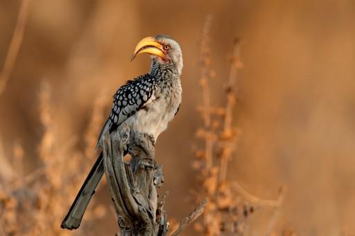 Zimbabwe: Yellow billed hornbill