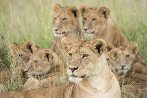 Lion pride in Tanzania