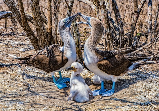 Blue footed booby pair and chick