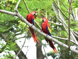 Two macaws in Costa Rica