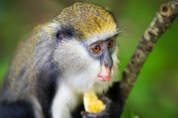 Mona monkey at Boabeng Fiema monkey sanctuary