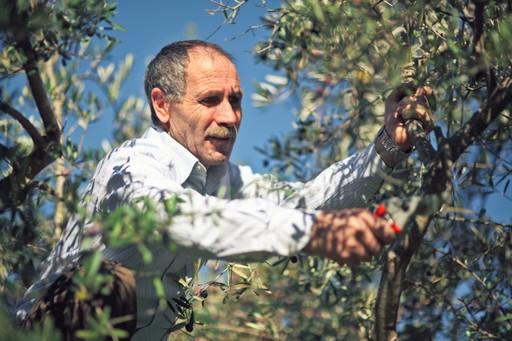 Italian man picking olives